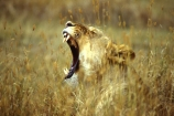 east-africa;africa;african;animal;animals;mammal;mammals;wild;wildlife;zoology;plain;plains;savannah;savanna;savanah;savana;grasslands;game-park;game-parks;cat;cats;feline;felines;predator;predators;carnivore;carnivores;lions;lion;Panthera-leo;dominant;roar;yawn;yawning;teeth;canines;bite;hungry;hunger;lazy;laziness;roaring;sleepy;tired;sleepiness;mouth;mouths;yell;yelling;shout;shouts;shouting;yells;safari;safaris;game-viewing;rift-valley;lionesses;conservation-area