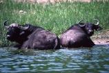 africa;african;animal;animals;east-africa;wildlife;wild;game-park;game-parks;safari;safaris;game-viewing;buffalos;bufalo;water-buffalo;horns;cape-buffalo;Syncerus-caffer