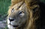 east-africa;africa;african;animal;animals;mammal;mammals;wild;wildlife;zoology;plain;plains;savannah;savanna;savanah;savana;grasslands;game-park;game-parks;cat;cats;feline;felines;predator;predators;carnivore;carnivores;lions;Panthera-leo;pride-leader;dominant;safari;safaris;game-viewing;rift-valley;male;males