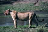 east-africa;africa;african;animal;animals;mammal;mammals;wild;wildlife;zoology;plain;plains;savannah;savanna;savanah;savana;grasslands;game-park;game-parks;cat;cats;feline;felines;predator;predators;carnivore;carnivores;lions;lion;Panthera-leo;mouth;mouths;safari;safaris;game-viewing;lionesses;female;females;blood;eat