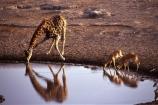 Giraffa-camelopardalis;africa;african;animal;animals;giraffes;mammal;wild;wildlife;reflection;reflections;zoology;long-neck;tall;height;savannah;savanna;savanah;savana;grasslands;game-park;game-parks;safari;safaris;game-viewing;rift-valley;drink;water-hole;black_faced-impala;Aepyceros-petersi