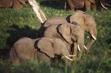 africa;african;animal;animals;elephant;elephants;african-elephant;african-elephants;jumbo;pachyderm;pachyderms;wildlife;wild;mammal;mammals;large;big;enormous;trunk;trunks;Loxodonta-africana;Ivory;tusk;tusks;game-park;game-parks;safari;safaris;game-viewing;threatened;endangered;nose;noses;national-park;national-parks;ear;ears;skin;herbivore;herbivores;three;reserve;reserves;Masai-Mara;masai;maasai;masai-mara-National-Reserve;Kenya;kenyan;east-africa