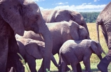 africa;african;animal;animals;elephant;elephants;african-elephant;african-elephants;jumbo;pachyderm;pachyderms;wildlife;wild;mammal;mammals;large;big;enormous;trunk;trunks;Loxodonta-africana;Ivory;tusk;tusks;game-park;game-parks;safari;safaris;game-viewing;threatened;endangered;nose;noses;national-park;national-parks;ear;ears;skin;herbivore;herbivores;reserve;reserves;Masai-Mara;masai;maasai;masai-mara-National-Reserve;Kenya;kenyan;east-aftica;mother;mothers;mom;mum;nursery;calf;calves;baby;babies;family;families;protection;group;herd;herds