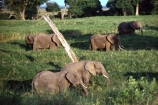 africa;african;animal;animals;elephant;elephants;african-elephant;african-elephants;jumbo;pachyderm;pachyderms;wildlife;wild;mammal;mammals;large;big;enormous;trunk;trunks;Loxodonta-africana;Ivory;tusk;tusks;game-park;game-parks;safari;safaris;game-viewing;threatened;endangered;nose;noses;national-park;national-parks;ear;ears;skin;herbivore;herbivores;reserve;reserves;Masai-Mara;masai;maasai;masai-mara-National-Reserve;Kenya;kenyan;east-africa;herd;herds