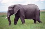 africa;african;animal;animals;elephant;elephants;african-elephant;african-elephants;jumbo;pachyderm;pachyderms;wildlife;wild;mammal;mammals;large;big;enormous;trunk;trunks;Loxodonta-africana;Ivory;tusk;tusks;game-park;game-parks;safari;safaris;game-viewing;threatened;endangered;nose;noses;national-park;national-parks;ear;ears;skin;herbivore;herbivores;reserve;reserves;Masai-Mara;masai;maasai;masai-mara-National-Reserve;Kenya;kenyan;grassland;grasslands;savanna;savannah;savana;savanah