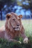 east-africa;africa;african;animal;animals;mammal;mammals;wild;wildlife;zoology;plain;plains;savannah;savanna;savanah;savana;grassland;grasslands;game-park;game-parks;cat;cats;feline;felines;predator;predators;carnivore;carnivores;lions;lion;Panthera-leo;pride-leader;dominant;safari;safaris;game-viewing;rift-valley;masai-mara-national-reserve;masai-mara;maasai;maasai-mara;kenya;kenyan;reserve;reserves;male;males;mane;manes;portrait