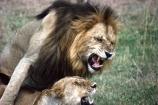 east-africa;africa;african;animal;animals;mammal;mammals;wild;wildlife;zoology;plain;plains;savannah;savanna;savanah;savana;grassland;grasslands;game-park;game-parks;cat;cats;feline;felines;predator;predators;carnivore;carnivores;lions;lion;Panthera-leo;safari;safaris;game-viewing;rift-valley;reserve;reserves;ngorongoro-crater;ngorongoro-conservation-area;tanzania;tanzanian;mate;mating;intercourse;sex;copulate;copulation;copulating;male;males;female;females;mane;manes