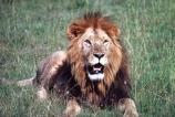 east-africa;africa;african;animal;animals;mammal;mammals;wild;wildlife;zoology;plain;plains;savannah;savanna;savanah;savana;grassland;grasslands;game-park;game-parks;cat;cats;feline;felines;predator;predators;carnivore;carnivores;lions;lion;Panthera-leo;pride-leader;dominant;safari;safaris;game-viewing;rift-valley;masai-mara-national-reserve;masai-mara;maasai;maasai-mara;kenya;kenyan;reserve;reserves;male;males;mane;manes;portrait;face