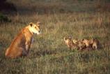 east-africa;africa;african;animal;animals;mammal;mammals;wild;wildlife;zoology;plain;plains;savannah;savanna;savanah;savana;grassland;grasslands;game-park;game-parks;cat;cats;feline;felines;predator;predators;carnivore;carnivores;lions;lion;Panthera-leo;pride-leader;dominant;safari;safaris;game-viewing;rift-valley;masai-mara-national-reserve;masai-mara;maasai;maasai-mara;kenya;kenyan;reserve;reserves;female;females;lioness;lionesses;mother;mothers;mom;mum;cub;cubs;protect;babies;baby