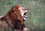 east-africa;africa;african;animal;animals;mammal;mammals;wild;wildlife;zoology;plain;plains;savannah;savanna;savanah;savana;grassland;grasslands;game-park;game-parks;cat;cats;feline;felines;predator;predators;carnivore;carnivores;lions;lion;Panthera-leo;pride-leader;dominant;roar;yawn;yawning;teeth;canines;bite;hungry;hunger;lazy;laziness;roaring;sleepy;tired;sleepiness;mouth;mouths;yell;yelling;shout;shouts;shouting;yells;safari;safaris;game-viewing;rift-valley;masai-mara-national-reserve;masai-mara;maasai;maasai-mara;kenya;kenyan;reserve;reserves;male;males;mane;manes