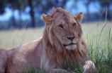 east-africa;africa;african;animal;animals;mammal;mammals;wild;wildlife;zoology;plain;plains;savannah;savanna;savanah;savana;grassland;grasslands;game-park;game-parks;cat;cats;feline;felines;predator;predators;carnivore;carnivores;lions;lion;Panthera-leo;pride-leader;dominant;safari;safaris;game-viewing;rift-valley;masai-mara-national-reserve;masai-mara;maasai;maasai-mara;kenya;kenyan;reserve;reserves;male;males;mane;manes;rest;resting;young