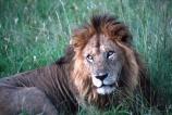 east-africa;africa;african;animal;animals;mammal;mammals;wild;wildlife;zoology;plain;plains;savannah;savanna;savanah;savana;grassland;grasslands;game-park;game-parks;cat;cats;feline;felines;predator;predators;carnivore;carnivores;lions;lion;Panthera-leo;pride-leader;dominant;safari;safaris;game-viewing;rift-valley;masai-mara-national-reserve;masai-mara;maasai;maasai-mara;kenya;kenyan;reserve;reserves;male;males;mane;manes