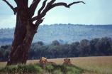 east-africa;africa;african;animal;animals;mammal;mammals;wild;wildlife;zoology;plain;plains;savannah;savanna;savanah;savana;grassland;grasslands;game-park;game-parks;cat;cats;feline;felines;predator;predators;carnivore;carnivores;lions;lion;Panthera-leo;pride-leader;dominant;safari;safaris;game-viewing;rift-valley;masai-mara-national-reserve;masai-mara;maasai;maasai-mara;kenya;kenyan;reserve;reserves;tree;rest;resting;male;males;two;pair;brother;brothers;danger;hunters;hide;hidden;hunt