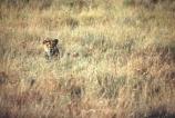 east-africa;africa;african;animal;animals;mammal;mammals;wild;wildlife;zoology;plain;plains;savannah;savanna;savanah;savana;grassland;grasslands;game-park;game-parks;cat;cats;feline;felines;predator;predators;carnivore;carnivores;lions;lion;Panthera-leo;safari;safaris;game-viewing;rift-valley;reserve;reserves;female;lioness;lionesses;females;hidden;hide;camouflage;camouflaged;hunt;hunting;hunter;hunters;serengeti;serengeti-national-park;tanzania;tanzanian;serengeti-np