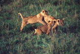 east-africa;africa;african;animal;animals;mammal;mammals;wild;wildlife;zoology;plain;plains;savannah;savanna;savanah;savana;grassland;grasslands;game-park;game-parks;cat;cats;feline;felines;predator;predators;carnivore;carnivores;lions;lion;Panthera-leo;pride-leader;dominant;safari;safaris;game-viewing;rift-valley;masai-mara-national-reserve;masai-mara;maasai;maasai-mara;kenya;kenyan;reserve;reserves;cub;cubs;young;baby;babies;play;playing;family