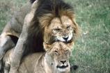east-africa;africa;african;animal;animals;mammal;mammals;wild;wildlife;zoology;plain;plains;savannah;savanna;savanah;savana;grassland;grasslands;game-park;game-parks;cat;cats;feline;felines;predator;predators;carnivore;carnivores;lions;lion;Panthera-leo;safari;safaris;game-viewing;rift-valley;reserve;reserves;ngorongoro-crater;ngorongoro-conservation-area;tanzania;tanzanian;mate;mating;intercourse;sex;copulate;copulation;copulating;male;males;female;females;mane;manes;crater