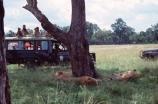 east-africa;africa;african;animal;animals;mammal;mammals;wild;wildlife;zoology;plain;plains;savannah;savanna;savanah;savana;grassland;grasslands;game-park;game-parks;cat;cats;feline;felines;predator;predators;carnivore;carnivores;lions;lion;Panthera-leo;pride-leader;dominant;safari;safaris;game-viewing;rift-valley;masai-mara-national-reserve;masai-mara;maasai;maasai-mara;kenya;kenyan;reserve;reserves;four-wheel-drive;four-wheel-dives;4wd;4wds;4x4;4x4s;tourists;tourist;game-view;rest;resting;sleep;sleeping;lionesses;lioness;pride;prides