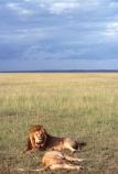 east-africa;africa;african;animal;animals;mammal;mammals;wild;wildlife;zoology;plain;plains;savannah;savanna;savanah;savana;grassland;grasslands;game-park;game-parks;cat;cats;feline;felines;predator;predators;carnivore;carnivores;lions;lion;Panthera-leo;pride-leader;dominant;safari;safaris;game-viewing;rift-valley;masai-mara-national-reserve;masai-mara;maasai;maasai-mara;kenya;kenyan;reserve;reserves;male;males;mane;manes;female;females;lioness;lionesses;couple;pair;couples;pairs