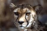 Acinonyx-jubatus;duma;felidae;acinonychinae;africa;african;animal;animals;cat;cats;cheetah;cheetahs;feline;felines;mammal;mammals;nature;predator;predators;hunt;hunter;spotted;spots;spot;fur;southern-africa;fast;fastest;wildlife;wild;zoology;safari;safaris;game-viewing;game-park;game-parks;national-park;national-parks;threatened;endangered;botswana;botswanan;portrait;face;faces