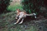 Acinonyx-jubatus;duma;felidae;acinonychinae;africa;african;animal;animals;cat;cats;cheetah;cheetahs;feline;felines;mammal;mammals;nature;predator;predators;hunt;hunter;hunting;chase;cases;chasing;kill;movement;tail;tails;spotted;spots;spot;fur;southern-africa;fast;fastest;wildlife;wild;zoology;safari;safaris;game-viewing;game-park;game-parks;national-park;national-parks;threatened;endangered;masai-mara-national-reserve;masai-mara;maasai-mara;maasai;masai;run