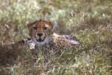 Acinonyx-jubatus;duma;felidae;acinonychinae;africa;african;animal;animals;cat;cats;cheetah;cheetahs;feline;felines;mammal;mammals;nature;predator;predators;hunt;hunter;spotted;spots;spot;fur;southern-africa;fast;fastest;wildlife;wild;zoology;safari;safaris;game-viewing;game-park;game-parks;national-park;national-parks;threatened;endangered;masai-mara-national-reserve;masai-mara;maasai-mara;maasai;masai;cub;cubs;young;teeth;canines;canine