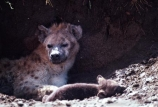 africa;african;animal;animals;mammal;mammals;nature;predator;predators;fur;east-africa;wildlife;wild;zoology;safari;safaris;game-viewing;game-park;game-parks;national-park;national-parks;carnivore;carnivores;omnivore;omnivores;scavenger;scavengers;spotted-hyena;plain;crocuta-crocuta;erxleben;hyenas;tierwolf;plains;savannah;savanna;savanah;savana;grasslands;rift-valley;masai-mara-national-reserve;masai-mara;maasai-mara;masai;maasai;ugly;den;dens;hole;holes;mother;mothers;baby;babies;cub;cubs;pup;pups;puppy;puppies;female;females;young