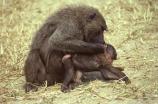 africa;african;animal;animals;east-africa;wildlife;wild;game-park;game-parks;safari;safaris;game-viewing;rift-valley;baboons;papio-anubis;agressive;danger;dangerous;olive-baboon;anubis-baboon;baboon;olive-baboons;anubis-baboons;masai-mara-national-reserve;masai-mara;maasai-mara;masai;maasai;kenya;kenyan;baby;babies
