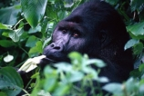 africa;african;animal;animals;wildlife;game-view;central-africa;great-lakes-region;jungle;Democratic-Republic-of-Congo;congo;zaire;rainforest;endangered;threatened-with-extinction;safari;safaris;game-viewing;male;leader;dominant;mountain;gorillas;ape;apes;primate;primates;wild;gorilla;gorilla-beringei;silver-back;threatened;endangered-with-extinction