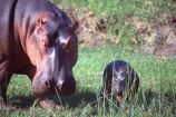 hippo;hippopotamus;hippopotami;hippopotamus-amphibius;hippos;mammal;mammals;wild;wildlife;animal;animals;africa;african;east-africa;danger;dangerous;rift-valley;pachyderm;pachyderms;amphibian;amphibious;ngorongoro-crater;ngorongoro;ngorongoro-consevation-area;tanzania;tanzanian;baby;babies