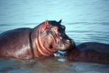 hippo;hippopotamus;hippopotami;hippopotamus-amphibius;hippos;mammal;mammals;wild;wildlife;animal;animals;africa;african;east-africa;danger;dangerous;rift-valley;pachyderm;pachyderms;amphibian;amphibious;burundi;lake-tanganyika