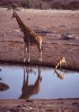 Giraffa-camelopardalis;east-africa;africa;african;animal;animals;giraffe;giraffes;mammal;wild;wildlife;zoology;long-neck;tall;height;plain;plains;savannah;savanna;savanah;savana;grasslands;game-park;game-parks;safari;safaris;game-viewing;national-park;national-parks;etosha-pan;etosha;etosha-national-park;namibia;namibian;waterhole;water-hole;waterholes;water-holes;impala;impalas;black_faced-impala;black_faced-impalas;blackfaced-impala;blackfaced-impalas;drink;drinking