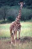 Giraffa-camelopardalis;east-africa;africa;african;animal;animals;giraffe;giraffes;mammal;wild;wildlife;zoology;long-neck;tall;height;plain;plains;savannah;savanna;savanah;savana;grasslands;game-park;game-parks;safari;safaris;game-viewing;national-park;national-parks;masai-mara-national-reserve;masai-mara;maasai-mara;masai;maasai;kenya;kenyan