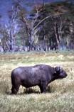 africa;african;animal;animals;east-africa;wildlife;wild;game-park;game-parks;safari;safaris;game-viewing;buffalos;bufalo;water-buffalo;horns;cape-buffalo;Syncerus-caffer;lake-nakuru-national-park;national-park;national-parks;lake-nakuru;kenya;kenyan