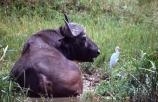 africa;african;animal;animals;east-africa;wildlife;wild;game-park;game-parks;safari;safaris;game-viewing;buffalos;bufalo;water-buffalo;horns;cape-buffalo;Syncerus-caffer;queen-elizabeth-national-park;national-park;national-parks;uganda;ugandan;kazinga-channel;kazinga;egret