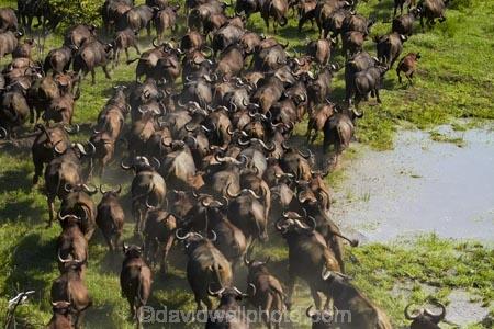 aerial;aerial-image;aerial-images;aerial-photo;aerial-photograph;aerial-photographs;aerial-photography;aerial-photos;aerial-view;aerial-views;aerials;Africa;African-buffalo;African-buffaloes;animal;animals;Botswana;buffalo;buffalo-herd;buffalo-herds;buffaloes;cape-buffalo;cape-buffaloes;crowd;crowds;delta;deltas;Endorheic-basin;flood-plain;flood-plains;flood_plain;flood_plains;floodplain;floodplains;herd;herds;inland-delta;internal-drainage-systems;mammal;mammals;many;Okavango;Okavango-Delta;Okavango-Swamp;plain;plains;river-delta;Seven-Natural-Wonders-of-Africa;Southern-Africa;stampede;stampedes;swamp;swampland;swamps;Syncerus-caffer;Syncerus-caffer-caffer;wildlife