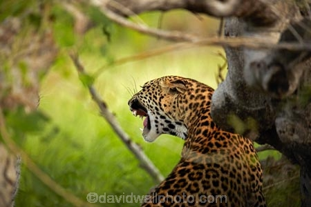 Africa;African;African-animals;African-wildlife;agressive;animal;animals;Botswana;carnivore;carnivores;cat;cats;feline;game-drive;game-park;game-parks;Game-Reserve;game-reserves;game-viewing;grass;hunter;hunters;leopard;leopards;long-grass;mammal;mammals;Moremi;Moremi-Game-Reserve;Moremi-Reserve;mouth;national-park;national-parks;natural;nature;Panthera-pardus;park;parks;predator;predators;reserve;reserves;rosette;rosettes;safari;safaris;Southern-Africa;spot;spots;spotted;spotted-cat;spotted-cats;teeth;widlife-parks;wild;wilderness;wildlife;wildlife-park;wildlife-parks;wildlife-reserve;wildlife-reserves