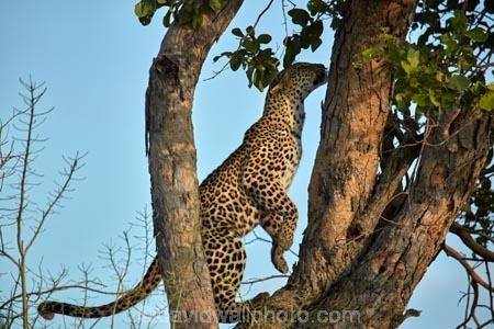 Africa;African;African-animals;African-wildlife;animal;animals;Botswana;carnivore;carnivores;cat;cats;feline;game-drive;game-park;game-parks;Game-Reserve;game-reserves;game-viewing;grass;hunter;hunters;leopard;leopards;long-grass;mammal;mammals;Moremi;Moremi-Game-Reserve;Moremi-Reserve;national-park;national-parks;natural;nature;Panthera-pardus;park;parks;predator;predators;reserve;reserves;rosette;rosettes;safari;safaris;Southern-Africa;spot;spots;spotted;spotted-cat;spotted-cats;widlife-parks;wild;wilderness;wildlife;wildlife-park;wildlife-parks;wildlife-reserve;wildlife-reserves