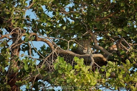 Africa;African;African-animals;African-wildlife;animal;animals;Botswana;camouflage;camouflaged;carnivore;carnivores;cat;cats;feline;game-drive;game-park;game-parks;Game-Reserve;game-reserves;game-viewing;grass;hunter;hunters;leopard;leopards;long-grass;mammal;mammals;Moremi;Moremi-Game-Reserve;Moremi-Reserve;national-park;national-parks;natural;nature;Panthera-pardus;park;parks;predator;predators;reserve;reserves;rosette;rosettes;safari;safaris;Southern-Africa;spot;spots;spotted;spotted-cat;spotted-cats;widlife-parks;wild;wilderness;wildlife;wildlife-park;wildlife-parks;wildlife-reserve;wildlife-reserves;young