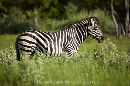 Africa;African;African-wildlife;animal;animals;black-amp;-white;black-and-white;Botswana;Burchells-zebra;Equus-burchellii;Equus-quagga;Equus-quagga-burchellii;game-drive;game-park;game-parks;Game-Reserve;game-reserves;game-viewing;mammal;mammals;Moremi;Moremi-Game-Reserve;Moremi-Reserve;national-park;national-parks;natural;nature;park;parks;reserve;reserves;safari;safaris;Southern-Africa;stripe;stripes;stripped;widlife-parks;wild;wilderness;wildlife;wildlife-park;zebra;zebras