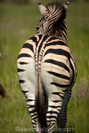 Africa;African;African-wildlife;animal;animals;behind;black-amp;-white;black-and-white;Botswana;bottom;Burchells-zebra;Equus-burchellii;Equus-quagga;Equus-quagga-burchellii;game-drive;game-park;game-parks;Game-Reserve;game-reserves;game-viewing;mammal;mammals;Moremi;Moremi-Game-Reserve;Moremi-Reserve;national-park;national-parks;natural;nature;park;parks;rear;reserve;reserves;safari;safaris;Southern-Africa;stripe;stripes;stripped;widlife-parks;wild;wilderness;wildlife;wildlife-park;zebra;zebras