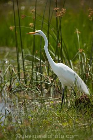 Africa;African;Animal;animals;Ardea-alba;avian;bird;bird-spotting;bird-watching;bird_watching;birds;Botswana;common-egret;common-egrets;eco-tourism;eco_tourism;ecotourism;egret;egrets;Fauna;game-park;game-parks;Game-Reserve;game-reserves;great-egret;great-egrets;great-white-egret;great-white-egrets;great-white-heron;great-white-herons;heron;herons;large-egret;large-egrets;Moremi;Moremi-Game-Reserve;Moremi-Reserve;national-park;national-parks;Natural;Nature;Ornithology;park;parks;reserve;reserves;safari;safaris;Southern-Africa;widlife-parks;wild;wildlife;wildlife-park