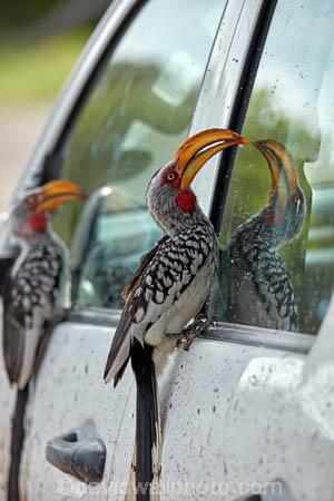 4wd;4x4;Africa;African;Animal;animals;avian;bill;bills;bird;bird-spotting;bird-watching;bird_watching;birds;Botswana;Chobe-N.P.;Chobe-National-Park;Chobe-NP;eco-tourism;eco_tourism;ecotourism;Fauna;Flying-Banana;game-park;game-parks;game-reserve;game-reserves;Hornbill;Hornbills;national-park;national-parks;Natural;Nature;Ornithology;park;parks;reserve;reserves;safari;safaris;Southern-Africa;Southern-Yellow_billed-Hornbill;Southern-Yellow_billed-Hornbills;Tockus-leucomelas;vehicle;widlife-parks;wild;wilderness;wildlife;wildlife-park;wildlife-parks;wildlife-reserve;wildlife-reserves;Yellow-billed-Hornbill;Yellow-billed-Hornbills;Yellow_billed-Hornbill;Yellow_billed-Hornbills