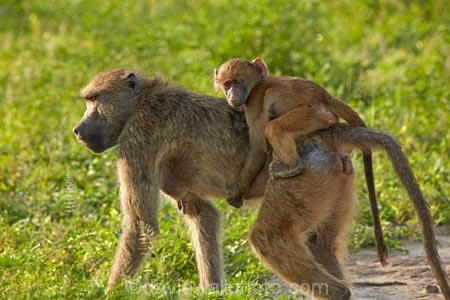 Africa;African;African-animals;African-wildlife;animal;animals;babies;baboon;baboons;baby;Botswana;Cape-baboon;Cape-baboons;Chacma-baboon;Chacma-baboons;Chobe-N.P.;Chobe-National-Park;Chobe-NP;game-drive;game-park;game-parks;game-reserve;game-reserves;game-viewing;Gray_footed-chacma-baboon;infant;infants;juvenile;juveniles;mammal;mammals;monkey;monkeys;national-park;national-parks;natural;nature;Papio-ursinus;Papio-ursinus-griseipes;primate;primates;Republic-of-South-Africa;reserve;reserves;safari;safaris;South-Africa;South-African-Republic;Southern-Africa;wild;wilderness;wildlife;wildlife-park;wildlife-parks;wildlife-reserve;wildlife-reserves;young