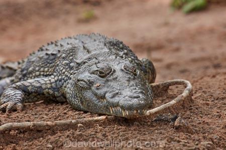 Africa;African;animal;animals;Botswana;Chobe-N.P.;Chobe-National-Park;Chobe-NP;Chobe-River;Chobe-River-Front;Chobe-River-Front-Region;Chobe-River-Region;Chobe-waterfront;croc;crocodile;crocodiles;Crocodylus-niloticus;crocs;danger;dangerous;Kasane;national-park;national-parks;natural;nature;Nile-crocodile;Nile-crocodiles;reptile;reptiles;reserve;reserves;safari;safaris;scary;Southern-Africa;wild;wilderness;wildlife;wildlife-park;wildlife-parks;wildlife-reserve;wildlife-reserves