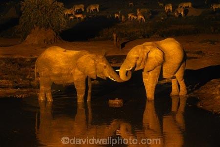 Africa;African-elephant;African-elephants;animal;animals;Botswana;dark;drink;drinking;elephant;elephants;evening;floodlighting;floodlit;Kasane;Loxodonta-africana;mammal;mammals;national-park;national-parks;natural;nature;night;night-time;pachyderm;pachyderms;reserve;reserves;safari;safaris;Senyati;Senyati-Safari-Camp;Southern-Africa;water;waterhole;waterholes;wild;wilderness;wildlife;wildlife-park;wildlife-parks;wildlife-reserve;wildlife-reserves