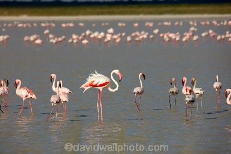 Africa;alkalii-flat;animal;animals;avian;barren;barreness;basin;bird;Bird-Sanctuary;bird-spotting;bird-watching;bird_watching;birds;Botswana;clay-pan;clay-pans;depression;desert;deserts;desolate;dry;dry-lake;dry-lake-bed;dry-lake-beds;dry-lakes;eco-tourism;eco_tourism;ecotourism;empty;endorheric;endorheric-basin;endorheric-basins;endorheric-lake;extreme;Fauna;Flamingo;Flamingoes;flat;geographic;geography;glare;glary;Greater-Flamingo;Greater-Flamingoes;lake;lake-bed;lake-beds;lakes;Lesser-Flamingo;Lesser-Flamingoes;Namibia;Nata;Nata-Bird-Sanctuary;Natural;Nature;Ornithology;pan;pans;Phoeniconaias-minor;Phoenicopterus-roseus;playa;playas;sabkha;safari;safaris;saline;salt;salt-crust;salt-flat;salt-flats;salt-lake;salt-lakes;salt-pan;salt-pans;salt_pan;salt_pans;saltpan;saltpans;salty;Southern-Africa;Sowa-Pan;Sua-Pan;vast;vlei;white;white-surface;wild;wildlife