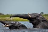 Africa;African;African-elephant;African-elephants;animal;animals;Botswana;Chobe-N.P.;Chobe-National-Park;Chobe-NP;Chobe-River;Chobe-River-Front;Chobe-River-Front-Region;Chobe-River-Region;Chobe-waterfront;copulate;copulating;copulation;coupling;elephant;elephants;intercourse;Kasane;Loxodonta-africana;mammal;mammals;mating;national-park;national-parks;natural;nature;pachyderm;pachyderms;pairing;reserve;reserves;river;rivers;safari;safaris;sex;Southern-Africa;trunk;trunks;tusk;tusks;water;wild;wilderness;wildlife;wildlife-park;wildlife-parks;wildlife-reserve;wildlife-reserves