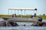 Africa;African;African-elephant;African-elephants;animal;animals;boat;boats;Botswana;Chobe-N.P.;Chobe-National-Park;Chobe-NP;Chobe-River;Chobe-River-Front;Chobe-River-Front-Region;Chobe-River-Region;Chobe-waterfront;cruise;cruise-boat;cruise-boats;cruises;elephant;elephants;Kasane;Loxodonta-africana;mammal;mammals;national-park;national-parks;natural;nature;pachyderm;pachyderms;pleasure-boat;pleasure-boats;reserve;reserves;river;rivers;safari;safaris;Southern-Africa;tour-boat;tour-boats;tourism;tourist;tourist-boat;tourist-boats;tourists;travel;water;wild;wilderness;wildlife;wildlife-park;wildlife-parks;wildlife-reserve;wildlife-reserves