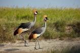 Africa;Animal;animals;avian;Balearica-regulorum;bird;Bird-Sanctuary;bird-spotting;bird-watching;bird_watching;birds;Botswana;crane;cranes;Crowned-Crane;Crowned-Cranes;eco-tourism;eco_tourism;ecotourism;Fauna;game-park;game-parks;game-reserve;game-reserves;Gray-Crowned-Crane;Gray-Crowned-Cranes;Grey-Crowned-Crane;Grey-Crowned-Cranes;Nata;Nata-Bird-Sanctuary;national-park;national-parks;Natural;Nature;Ornithology;safari;safaris;Southern-Africa;Sowa-Pan;Sua-Pan;wild;wildlife;wildlife-park;wildlife-parks;wildlife-reserve;wildlife-reserves
