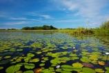 Africa;aquatic-plant;aquatic-plants;Botswana;delta;deltas;Endorheic-basin;flower;flowers;inland-delta;internal-drainage-systems;lily-pad;lily-pads;Nymphaeaceae;Okavango;Okavango-Delta;Okavango-Swamp;plant;plants;river-delta;Seven-Natural-Wonders-of-Africa;Southern-Africa;water-lilies;water-lily;water-lily-pad;water-lily-pads;water_lilies;water_lily;waterlilies;waterlily;waterlily-pad;waterlily-pads